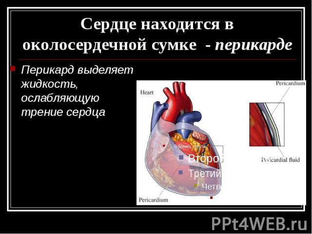 Сердце находится в околосердечной сумке - перикарде Перикард выделяет жидкость, ослабляющую трение сердца