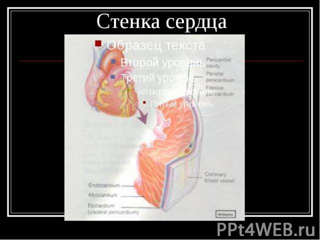 Стенка сердца