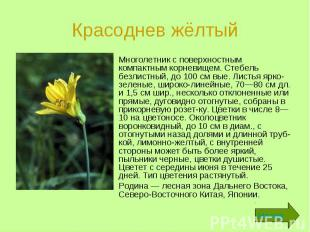Красоднев жёлтый Многолетник с поверхностным компактным корневищем. Стебель безл