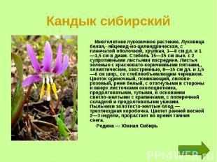 Кандык сибирский Многолетнее луковичное растение. Луковица белая,- яйцевидн