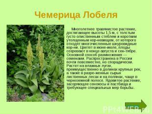 Чемерица Лобеля Многолетнее травянистое растение, достигающее высоты 1,5 м, с то