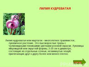 ЛИЛИЯ КУДРЕВАТАЯ Лилия кудреватая или мартагон - многолетнее травянистое, лукови