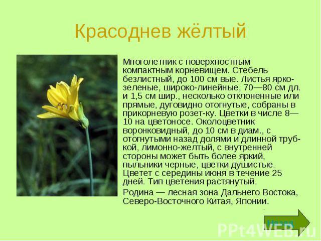 Красоднев жёлтый Многолетник с поверхностным компактным корневищем. Стебель безлистный, до 100 см вые. Листья ярко-зеленые, широколинейные, 70—80 см дл. и 1,5 см шир., несколько отклоненные или прямые, дуговидно отогнутые, собраны в прикорневую…