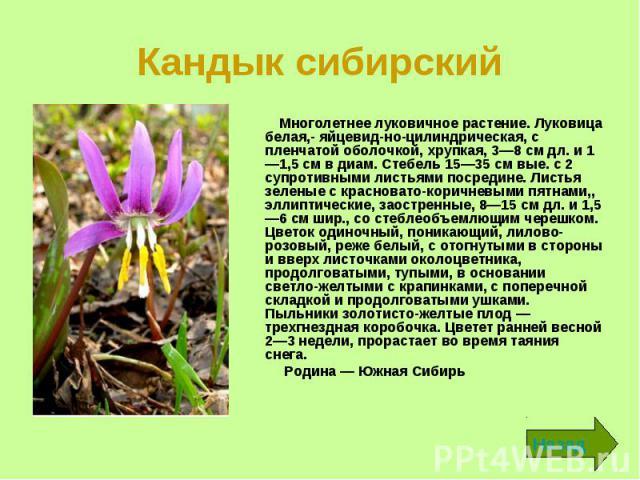 Кандык сибирский Многолетнее луковичное растение. Луковица белая,- яйцевидно-цилиндрическая, с пленчатой оболочкой, хрупкая, 3—8 см дл. и 1—1,5 см в диам. Стебель 15—35 см вые. с 2 супротивными листьями посредине. Листья зеленые с красновато-ко…