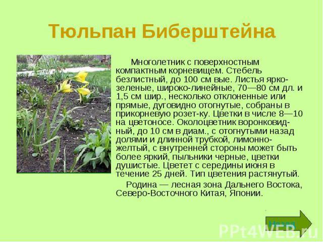 Тюльпан Биберштейна Многолетник с поверхностным компактным корневищем. Стебель безлистный, до 100 см вые. Листья ярко-зеленые, широколинейные, 70—80 см дл. и 1,5 см шир., несколько отклоненные или прямые, дуговидно отогнутые, собраны в прикорне…