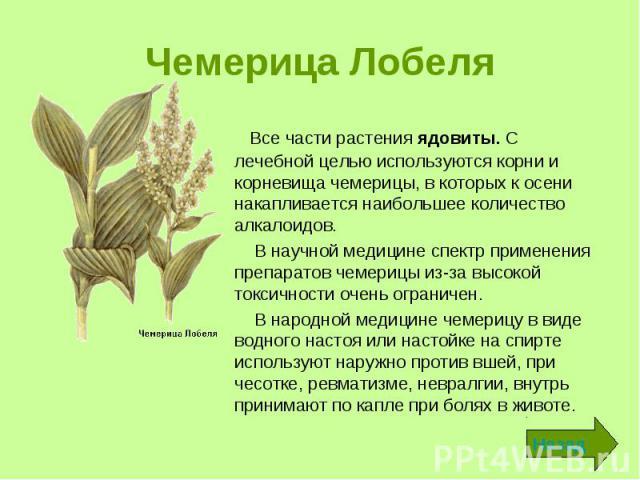 Чемерица Лобеля Все части растения ядовиты. С лечебной целью используются корни и корневища чемерицы, в которых к осени накапливается наибольшее количество алкалоидов. В научной медицине спектр применения препаратов чемерицы из-за высокой токсичност…