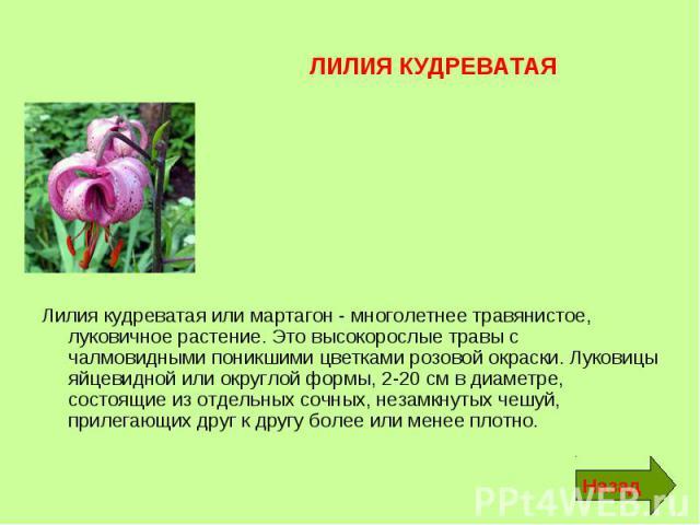 ЛИЛИЯ КУДРЕВАТАЯ Лилия кудреватая или мартагон - многолетнее травянистое, луковичное растение. Это высокорослые травы с чалмовидными поникшими цветками розовой окраски. Луковицы яйцевидной или округлой формы, 2-20 см в диаметре, состоящие из отдельн…