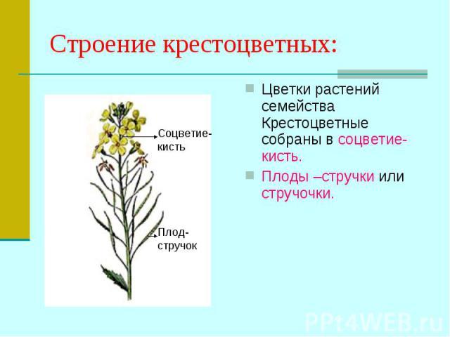 Цветки растений семейства Крестоцветные собраны в соцветие- кисть. Цветки растений семейства Крестоцветные собраны в соцветие- кисть. Плоды –стручки или стручочки.