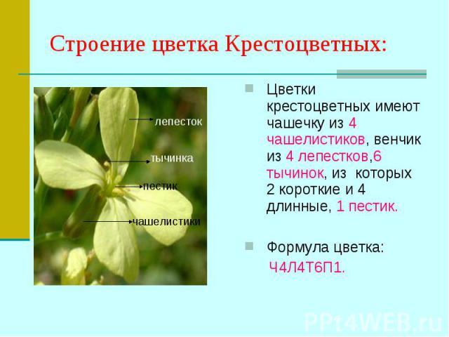Цветки крестоцветных имеют чашечку из 4 чашелистиков, венчик из 4 лепестков,6 тычинок, из которых 2 короткие и 4 длинные, 1 пестик. Цветки крестоцветных имеют чашечку из 4 чашелистиков, венчик из 4 лепестков,6 тычинок, из которых 2 короткие и 4 длин…