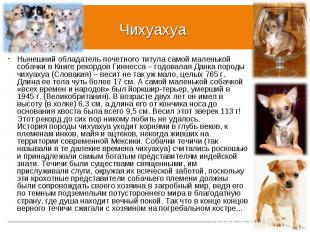 Нынешний обладатель почетного титула самой маленькой собачки в Книге рекордов Ги
