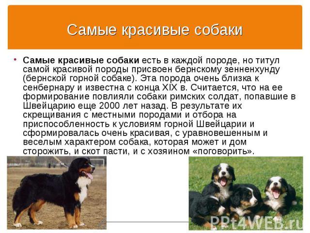 Самые красивые собаки есть в каждой породе, но титул самой красивой породы присвоен бернскому зенненхунду (бернской горной собаке). Эта порода очень близка к сенбернару и известна с конца XIX в. Считается, что на ее формирование повлияли собаки римс…