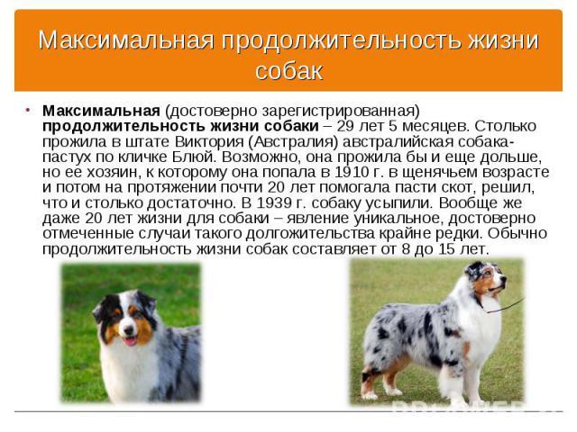 Максимальная (достоверно зарегистрированная) продолжительность жизни собаки – 29 лет 5 месяцев. Столько прожила в штате Виктория (Австралия) австралийская собака-пастух по кличке Блюй. Возможно, она прожила бы и еще дольше, но ее хозяин, к которому …