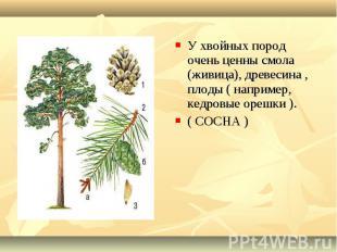 У хвойных пород очень ценны смола (живица), древесина , плоды ( например, кедров