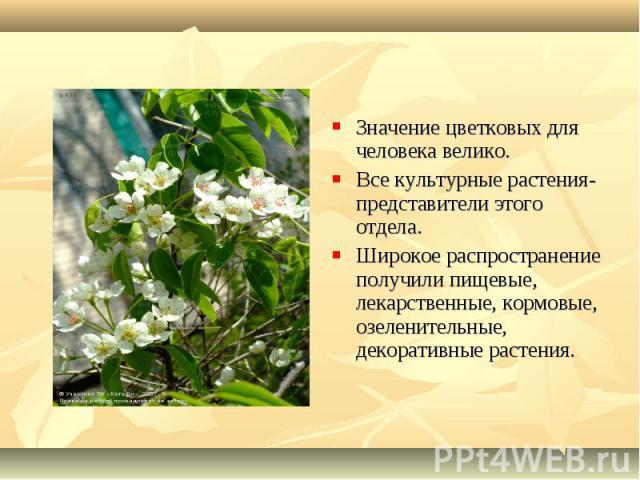 Значение цветковых для человека велико. Значение цветковых для человека велико. Все культурные растения- представители этого отдела. Широкое распространение получили пищевые, лекарственные, кормовые, озеленительные, декоративные растения.