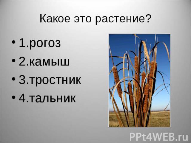 1.рогоз 1.рогоз 2.камыш 3.тростник 4.тальник