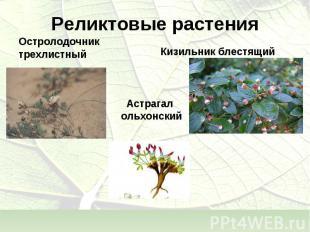 Астрагал Астрагал ольхонский
