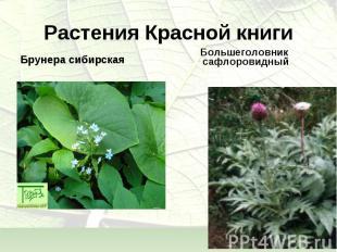 Брунера сибирская