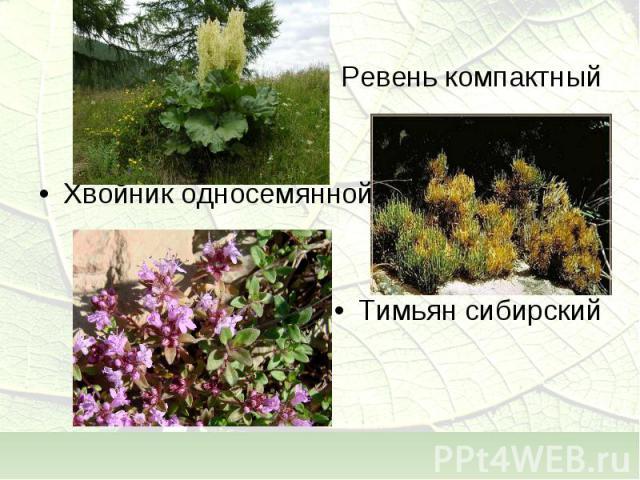 Ревень компактный Хвойник односемянной Тимьян сибирский