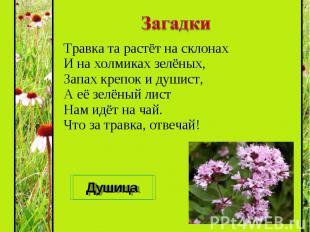 Травка та растёт на склонах И на холмиках зелёных, Запах крепок и душист, А её з