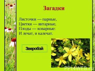 Листочки — парные, Цветки — янтарные, Плоды — коварные: И лечат, и калечат. Лист