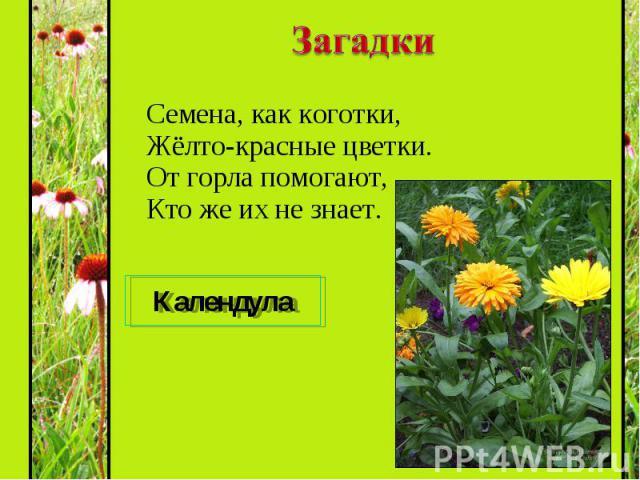 Семена, как коготки, Жёлто-красные цветки. От горла помогают, Кто же их не знает. Семена, как коготки, Жёлто-красные цветки. От горла помогают, Кто же их не знает.