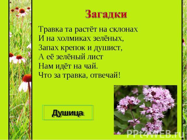 Травка та растёт на склонах И на холмиках зелёных, Запах крепок и душист, А её зелёный лист Нам идёт на чай. Что за травка, отвечай! Травка та растёт на склонах И на холмиках зелёных, Запах крепок и душист, А её зелёный лист Нам идёт на чай. Что за …