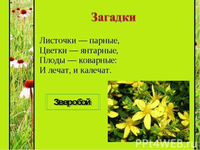 Листочки — парные, Цветки — янтарные, Плоды — коварные: И лечат, и калечат. Листочки — парные, Цветки — янтарные, Плоды — коварные: И лечат, и калечат.