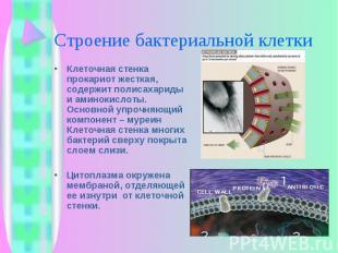 Клеточная стенка прокариот жесткая, содержит полисахариды и аминокислоты. Основн