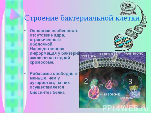 Основная особенность – отсутствие ядра, ограниченного оболочкой. Наследственная информация у бактерий заключена в одной хромосоме. Основная особенность – отсутствие ядра, ограниченного оболочкой. Наследственная информация у бактерий заключена в одно…