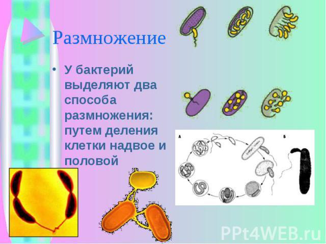 У бактерий выделяют два способа размножения: путем деления клетки надвое и половой У бактерий выделяют два способа размножения: путем деления клетки надвое и половой