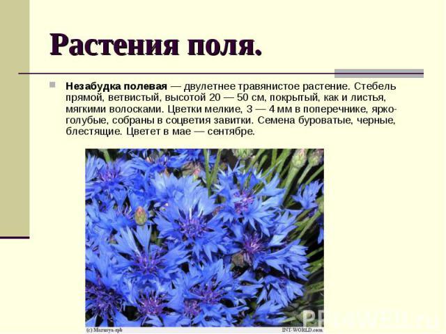 Растения поля. Незабудка полевая — двулетнее травянистое растение. Стебель прямой, ветвистый, высотой 20— 50 см, покрытый, какилистья, мягкими волосками. Цветки мелкие, 3— 4 мм впоперечнике, ярко-голубые, собраны в…