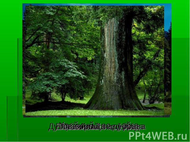 Хвойный лес - тайга Хвойный лес - тайга