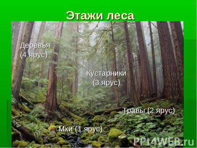 Деревья Деревья (4 ярус) Кустарники (3 ярус) Травы (2 ярус) Мхи (1 ярус)