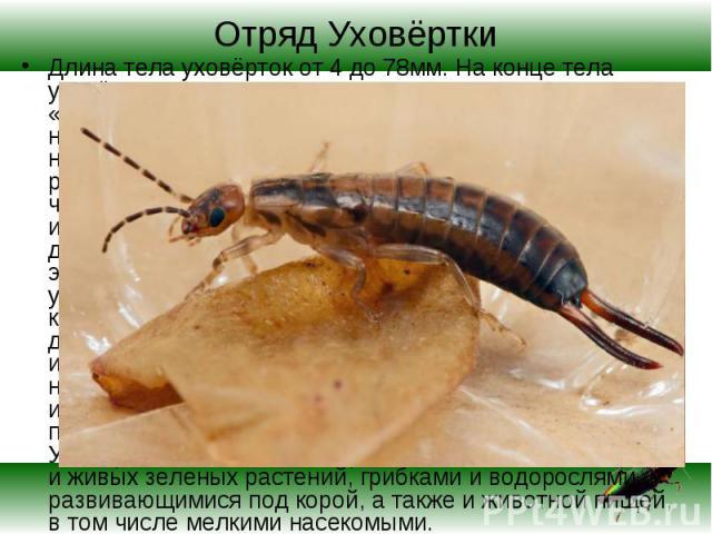 Длина тела уховёрток от 4 до 78мм. На конце тела уховёрток имеются выросты, за что их иногда называют «двухвостки». Выросты выполняют функцию защиты и нападения. Это насекомое пользуется дурной незаслуженной славой. До сих пор еще можно слышать расс…