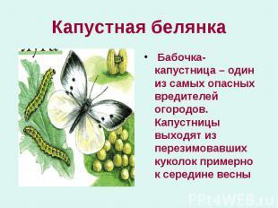 Бабочка-капустница – один из самых опасных вредителей огородов. Капустницы выход