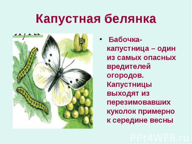 Бабочка-капустница – один из самых опасных вредителей огородов. Капустницы выходят из перезимовавших куколок примерно к середине весны Бабочка-капустница – один из самых опасных вредителей огородов. Капустницы выходят из перезимовавших куколок приме…