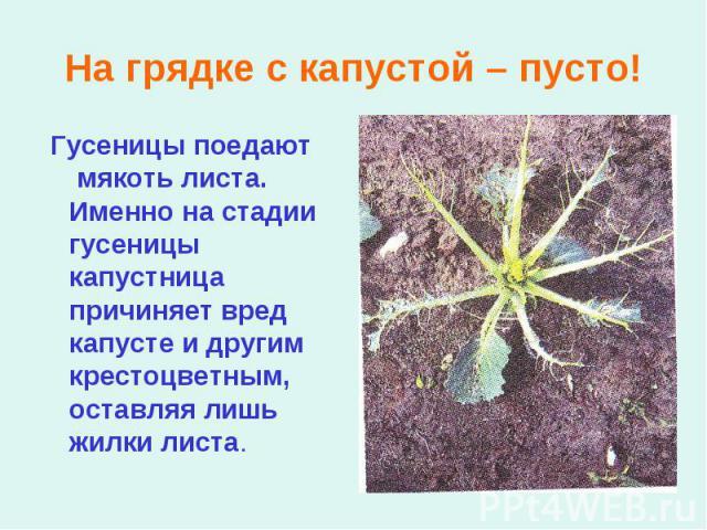 Гусеницы поедают мякоть листа. Именно на стадии гусеницы капустница причиняет вред капусте и другим крестоцветным, оставляя лишь жилки листа. Гусеницы поедают мякоть листа. Именно на стадии гусеницы капустница причиняет вред капусте и другим крестоц…