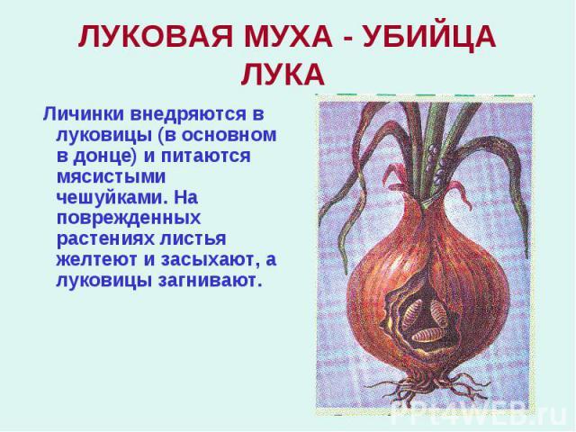 Личинки внедряются в луковицы (в основном в донце) и питаются мясистыми чешуйками. На поврежденных растениях листья желтеют и засыхают, а луковицы загнивают. Личинки внедряются в луковицы (в основном в донце) и питаются мясистыми чешуйками. На повре…