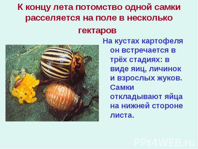 На кустах картофеля он встречается в трёх стадиях: в виде яиц, личинок и взрослых жуков. Самки откладывают яйца на нижней стороне листа. На кустах картофеля он встречается в трёх стадиях: в виде яиц, личинок и взрослых жуков. Самки откладывают яйца …