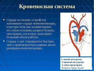 Сердце по своему устройству напоминает сердце млекопитающих, хотя при этом оно а