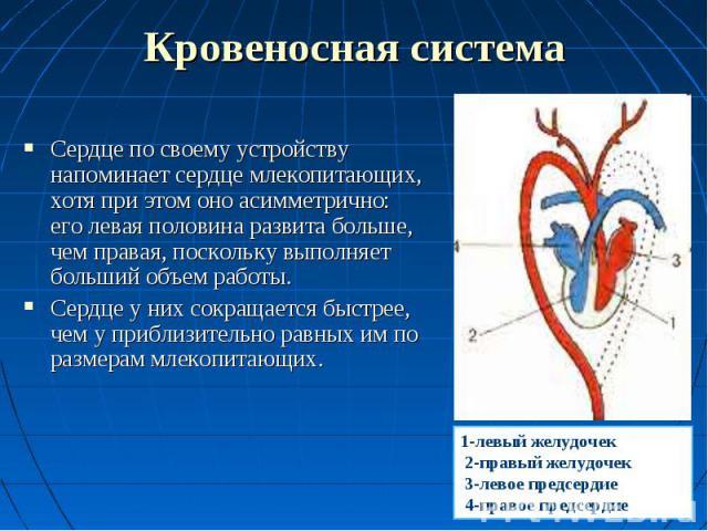 Сердце по своему устройству напоминает сердце млекопитающих, хотя при этом оно асимметрично: его левая половина развита больше, чем правая, поскольку выполняет больший объем работы. Сердце по своему устройству напоминает сердце млекопитающих, хотя п…