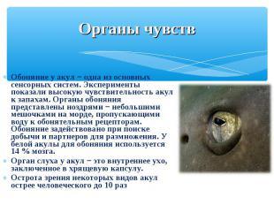 Обоняние у акул − одна из основных сенсорных систем. Эксперименты показали высок