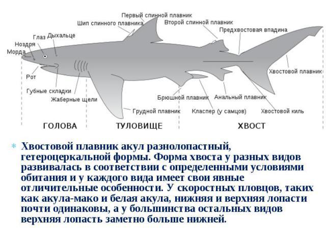 Хвостовой плавник акул разнолопастный, гетероцеркальной формы. Форма хвоста у разных видов развивалась в соответствии с определенными условиями обитания и у каждого вида имеет свои явные отличительные особенности. У скоростных пловцов, таких как аку…