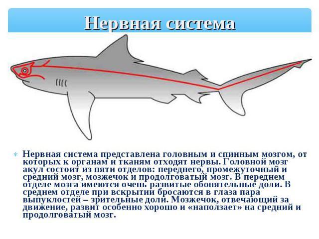 Нервная система представлена головным и спинным мозгом, от которых к органам и тканям отходят нервы. Головной мозг акул состоит из пяти отделов: переднего, промежуточный и средний мозг, мозжечок и продолговатый мозг. В переднем отделе мозга имеются …