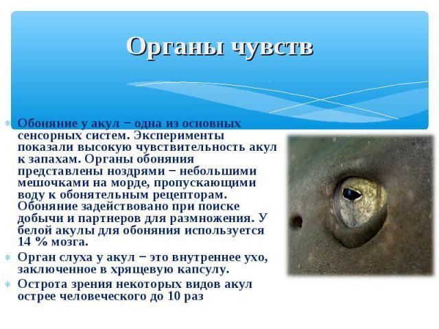 Обоняние у акул − одна из основных сенсорных систем. Эксперименты показали высокую чувствительность акул к запахам. Органы обоняния представлены ноздрями − небольшими мешочками на морде, пропускающими воду к обонятельным рецепторам. Обоняние задейст…