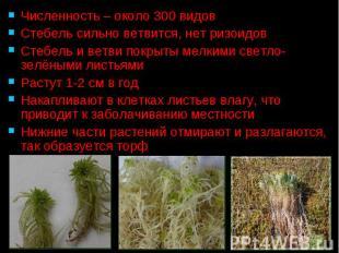 Численность – около 300 видов Численность – около 300 видов Стебель сильно ветви