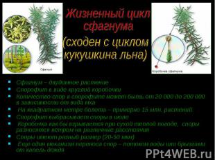 Сфагнум – двудомное растение Сфагнум – двудомное растение Спорофит в виде кругло