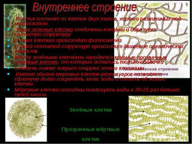 Листья состоят из клеток двух типов, хорошо различимых под микроскопом Листья состоят из клеток двух типов, хорошо различимых под микроскопом Узкие зеленые клетки соединены концами и образуют сетчатую структуру В этих клетках происходит фотосинтез В…