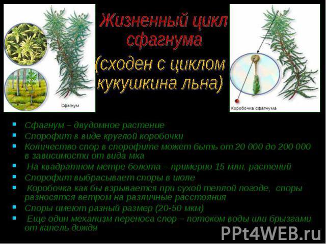 Сфагнум – двудомное растение Сфагнум – двудомное растение Спорофит в виде круглой коробочки Количество спор в спорофите может быть от 20 000 до 200 000 в зависимости от вида мха На квадратном метре болота – примерно 15 млн. растений Спорофит выбрасы…