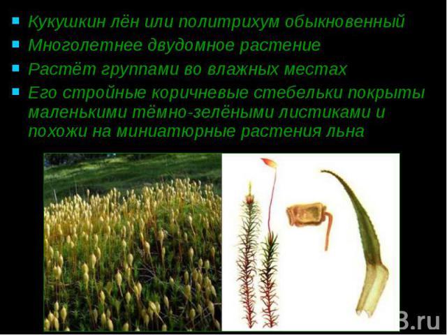 Кукушкин лён или политрихум обыкновенный Кукушкин лён или политрихум обыкновенный Многолетнее двудомное растение Растёт группами во влажных местах Его стройные коричневые стебельки покрыты маленькими тёмно-зелёными листиками и похожи на миниатюрные …